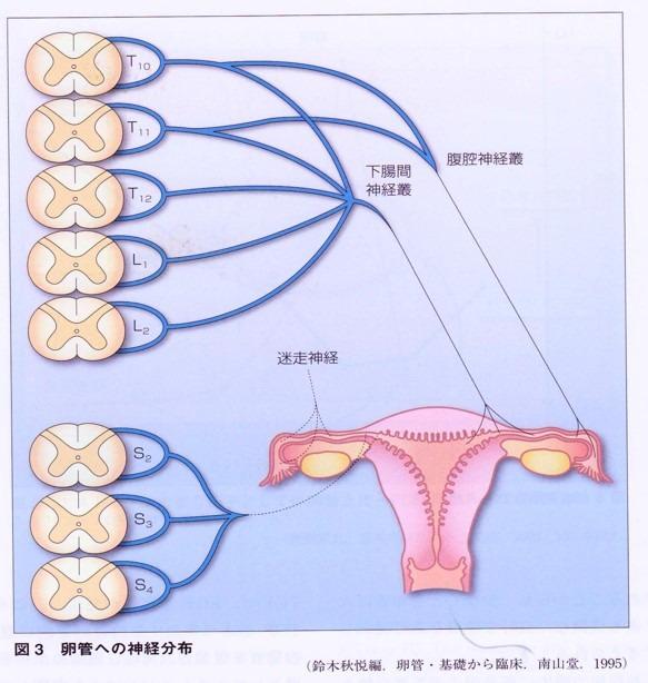 卵管神経支配