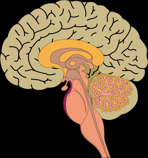 acura acupuncture clinic blog-感情をつかさどる扁桃体を鍛える